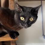 キャットウォークに置いたおもちゃ「くらげじゃらし」で遊ぶ猫