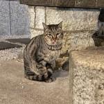 【猫の日】舌を出していたキジトラ猫さん