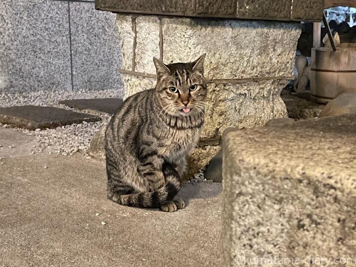 舌出しキジトラ猫さん