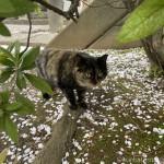桜の花びらがついていた三毛猫さん