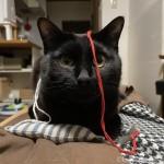 毛糸が顔に付いていても気にならない猫