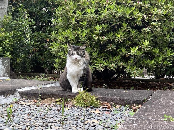 長毛キジトラ白猫さん
