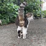 歩く後ろ姿もかわいらしいキジトラ白猫さん