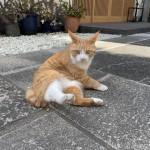 耳が長い茶トラ白猫さん