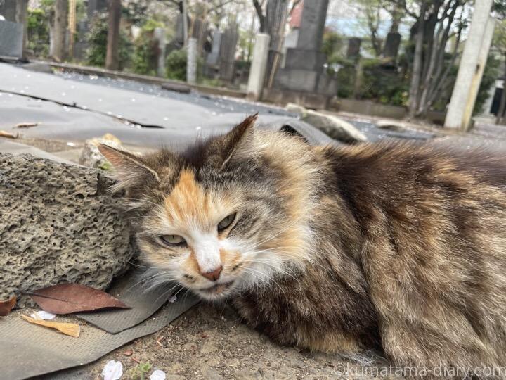 長毛三毛猫さん