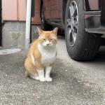 クリーム色がキレイな茶トラ白猫さん