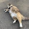 寝転んだ長毛の三毛猫さん