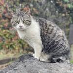 大きな石の上に座っていたキジトラ白猫さん