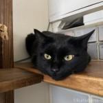 カウンターの上でペタッと寝そべる猫