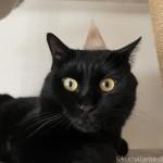 抜け毛でできたツノを頭に乗せた猫