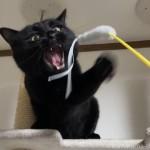 「リボンつき猫じゃらし」で遊ぶ猫
