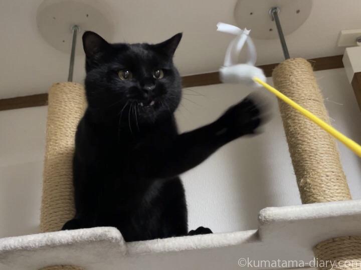 猫じゃらしで遊ぶふみお