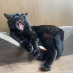 ソファー型の爪とぎ「ガリガリソファスクラッチャー」であくびする猫
