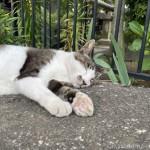 岩の上で気持ちよさそうに眠るキジトラ白猫さん
