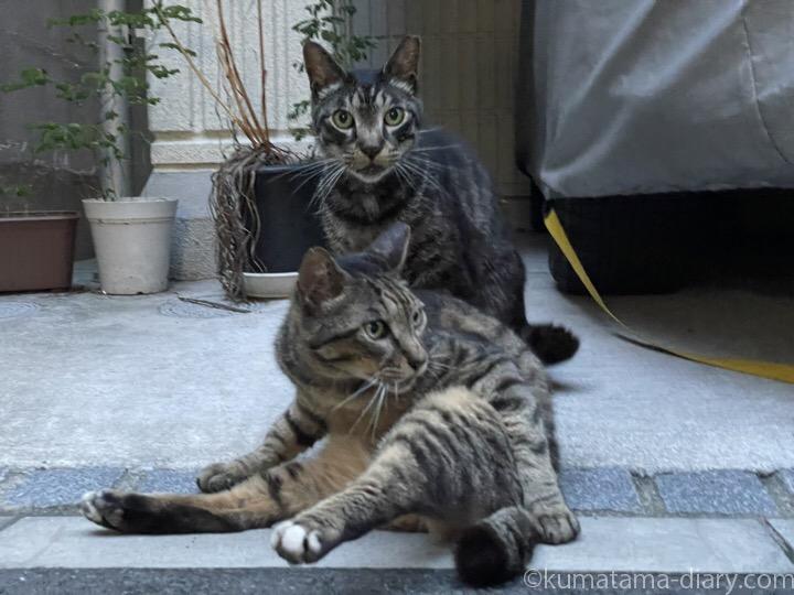 キジトラ猫さんたち