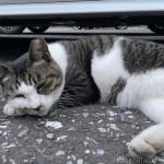 駐車場で寝そべる猫さん