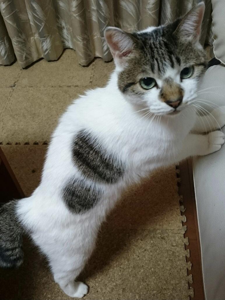 サバトラ白猫さん