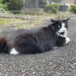 可愛い声で鳴く黒白猫さん