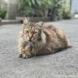 スフィンクス座り長毛猫さん