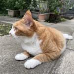 耳の先端の毛「リンクスティップ」が長い猫さん