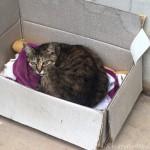 段ボール箱に入るキジトラ猫さん