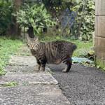 短いしっぽが可愛いキジトラ猫さん