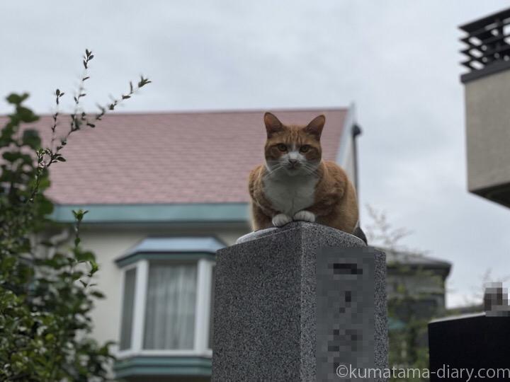 お墓の上の茶トラ白猫さん
