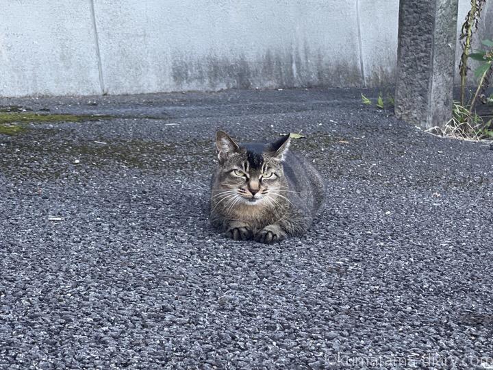 アビシニアンぽい猫さん